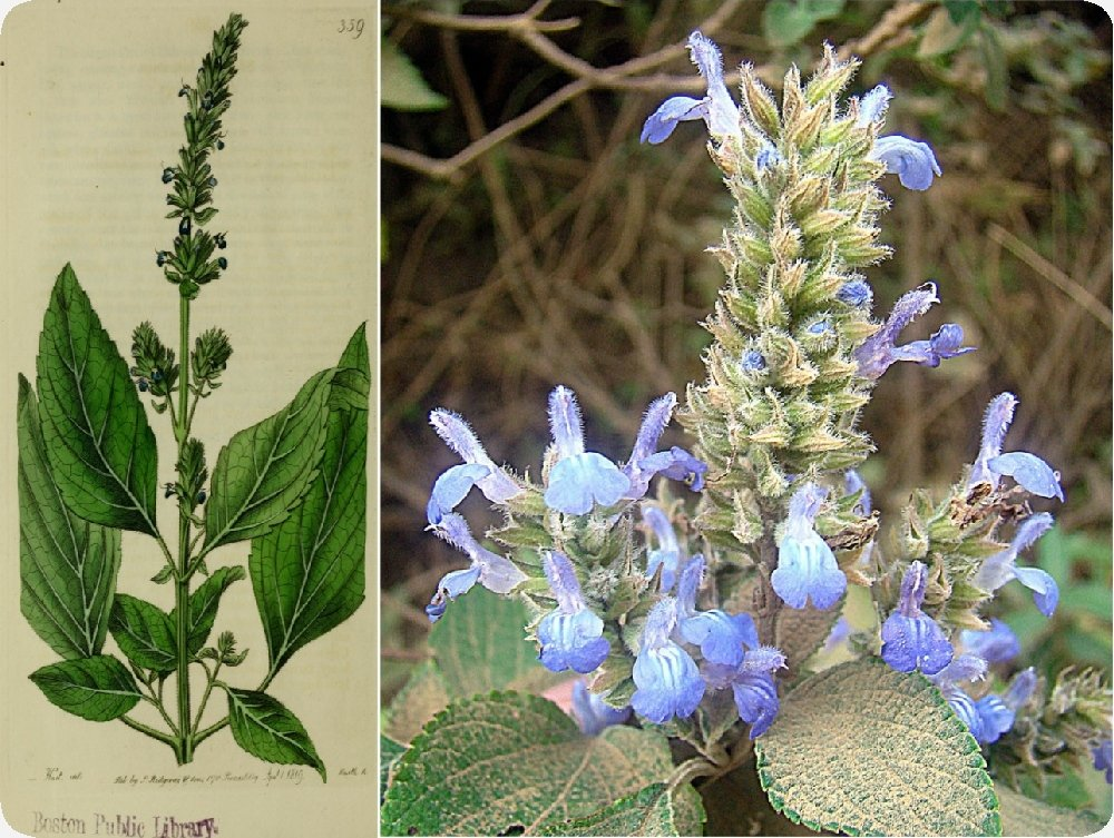 Amazon.com : SAFLAX - Mexican Chia - 500 seeds - Salvia hispanica : Garden & Outdoor