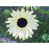 Sonnenblume - Vanilla Ice - 20 Samen
