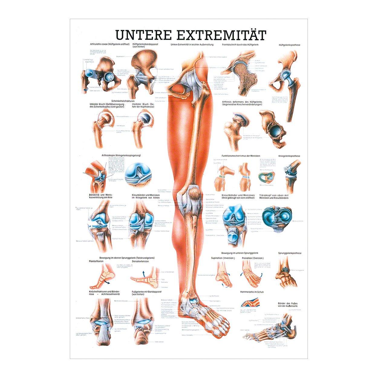 Untere Extremität Mini-Poster Anatomie 34x24 cm medizinische ...