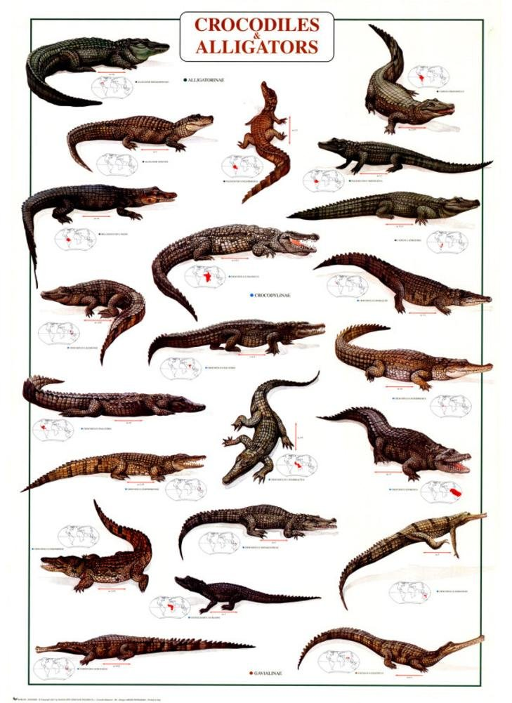 Crocodiles and Alligators Poster