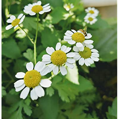 Hundredfold Organic Feverfew 200 Seeds - Chrysanthemum Tanacetum parthenium, Traditional Medical Herb, Daisy-Like Flowers : Garden & Outdoor