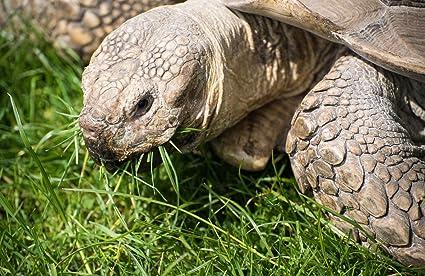 African Grasses Tortoise Blend (1600 seed) Sulcata Leopard grass