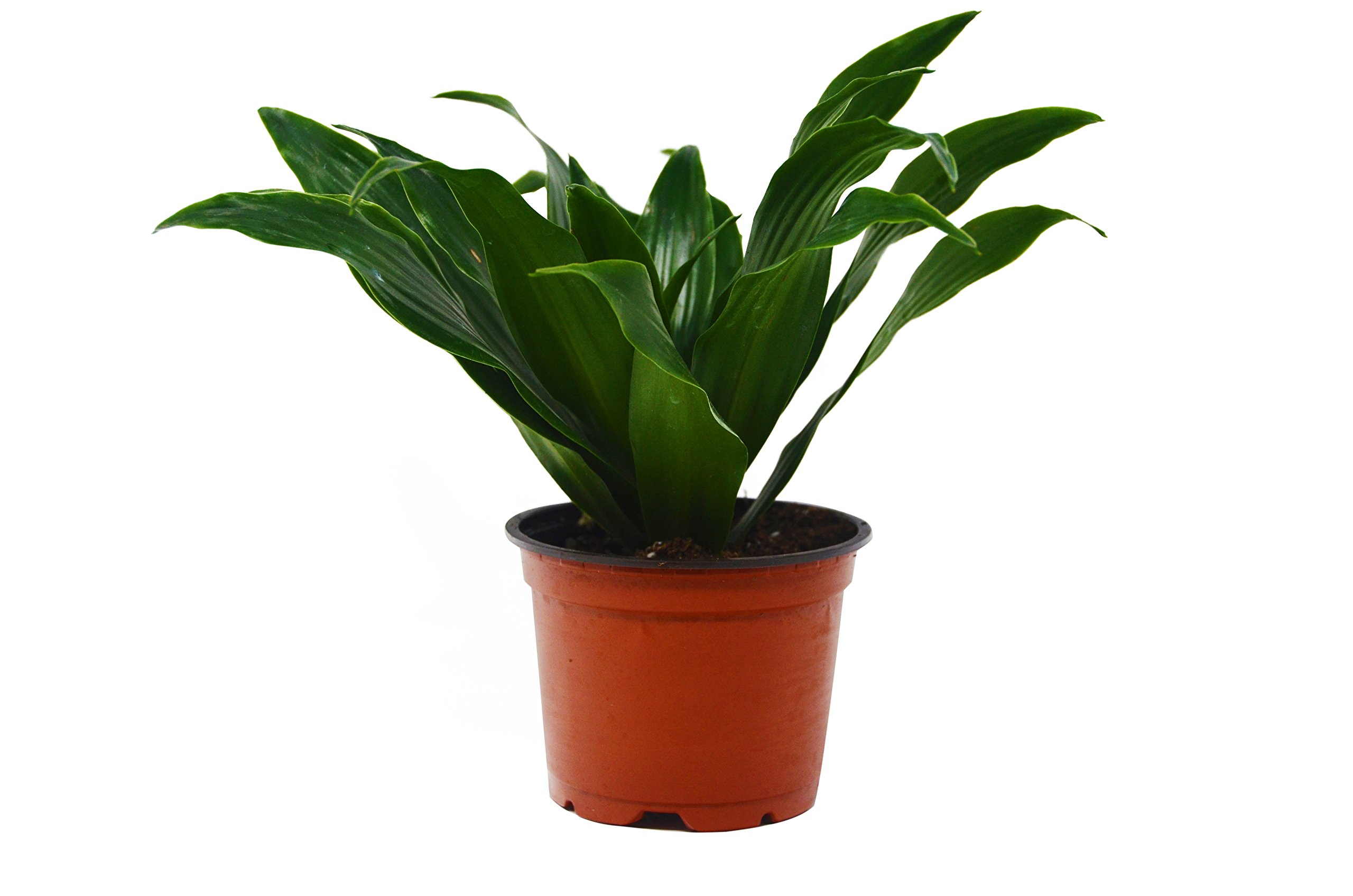 Dracaena 'Warneckii' - Live House Plant - FREE Care Guide - 4'' Pot - HARD TO KILL by House Plant Shop