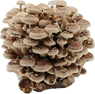 Bio Shiitake Pilzzuchtkultur Compact - Zuchtkultur für die eigene Pilzzucht