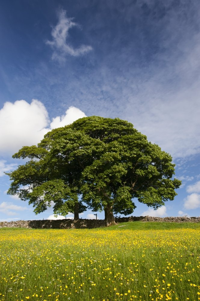 Posterazzi Sycamore tree on the edge of a
