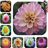 Dahlia bulbs Mix,dahlia flower not dahlia seeds bonsai flower bulbs,Symbolizes courage and lucky,home garden plant 10 bulbs