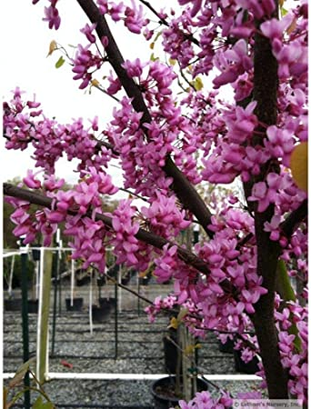 Amazon Com 1 Year Old Eastern Redbud Tree Cercis Canadensis