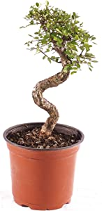 """Brussel's Bonsai Live Chinese Elm Outdoor Bonsai Tree 8 Years Old 8""""-10"""" Tall in Plastic Grower Pot, Medium"""