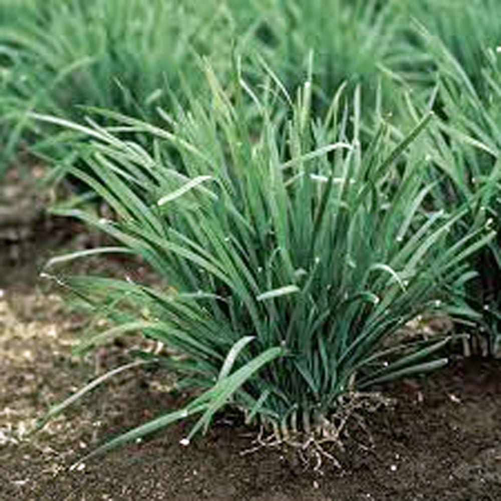 Allium schoenoprasum 100 Semillas Semillas cebollino Com/ún