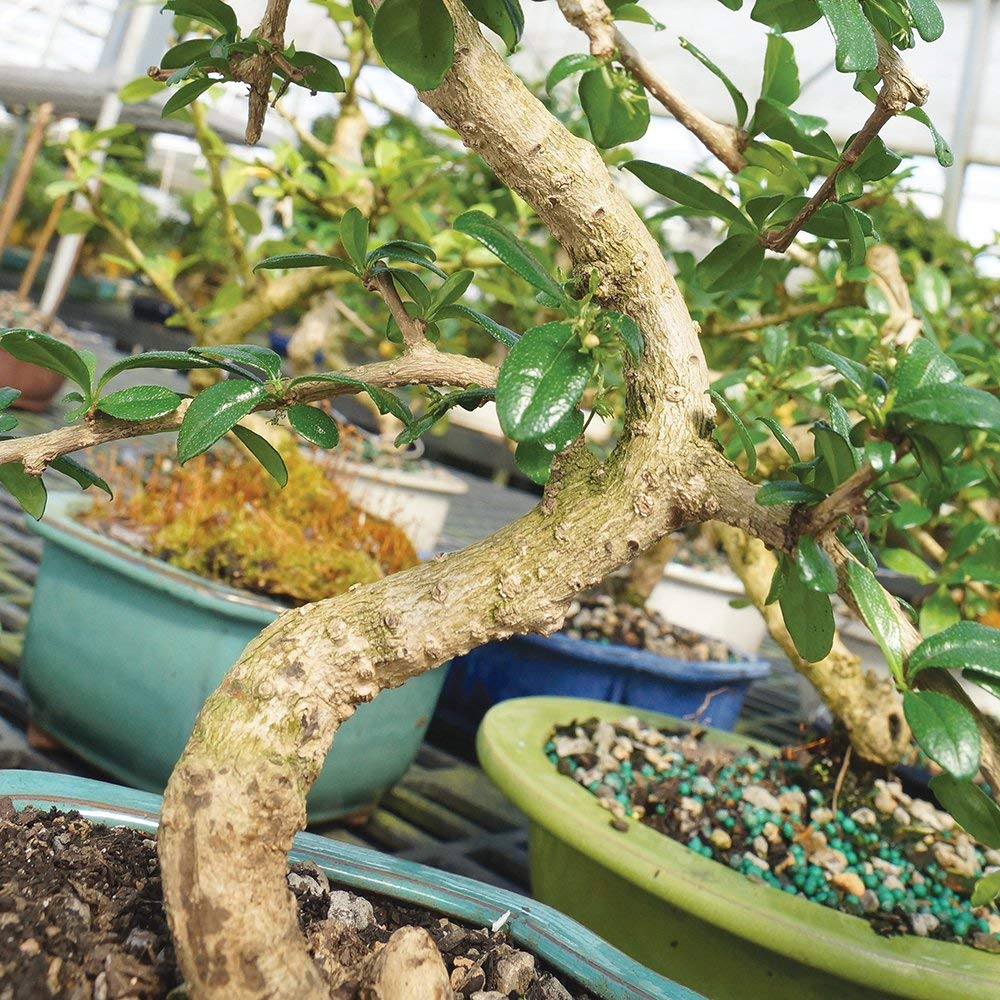 Brussel's Bonsai Live Fukien Tea Indoor Bonsai Tree-10 Years Old 10'' to 14'' Tall with with Decorative Container, by Brussel's Bonsai (Image #2)