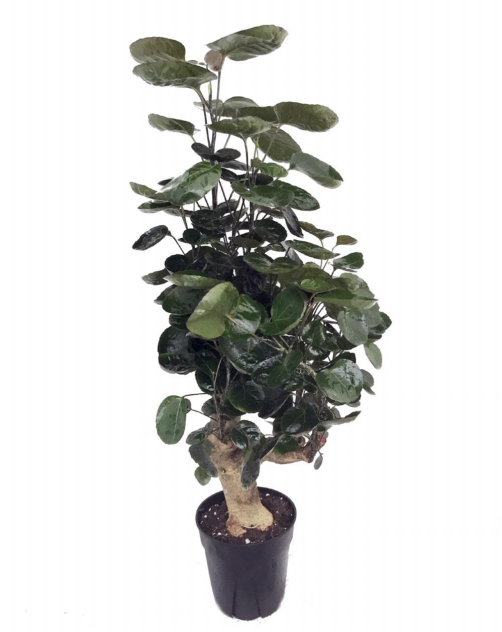 Fabian Japanese Ming Aralia Tree - Polyscias - Indoor - 6'' Pot - Thick Trunk