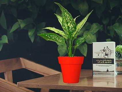 Rolling Nature Aglaonema Green Plant In Red Colorista Pot Amazon