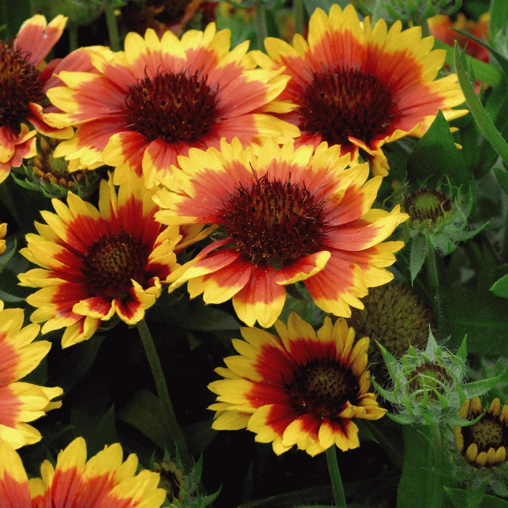 Gaillardia aristata /'Arizona Sun/' Hardy Perennial Drought Resistant Blanket Flower 1 Litre Potted Plant by Thompson and Morgan