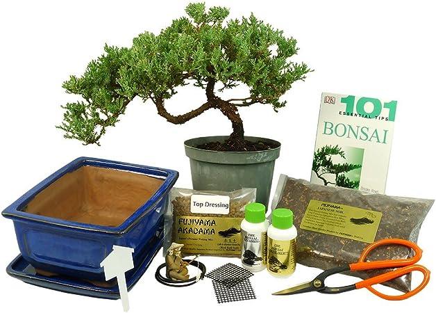 Amazon Com Dallas Bonsai Garden S Premium Bonsai Kit Windswept Design 1060 Garden Outdoor