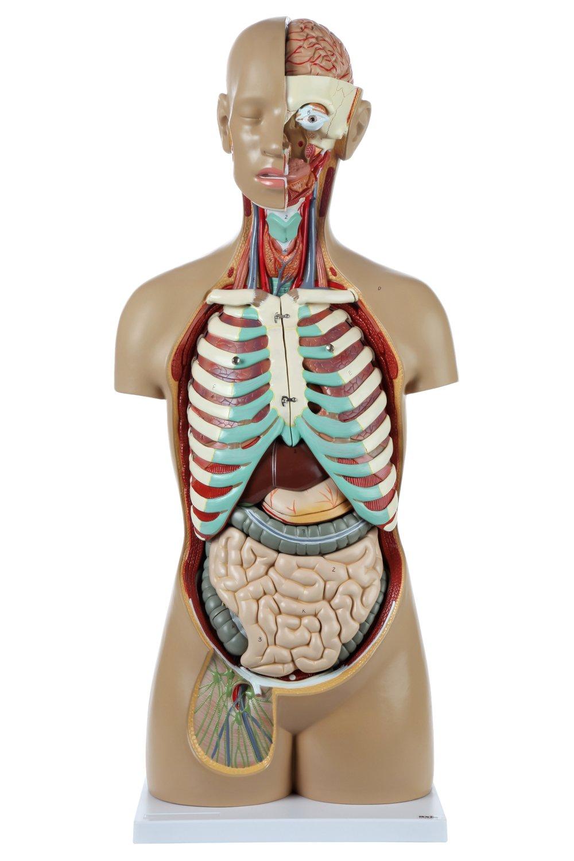 Axis Scientific 18 Part Premium Unisex Human Torso Model Detailed