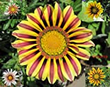 Gazania my flowerpot Summer Fun