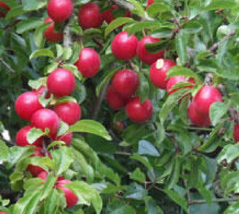 Amazon Com Live Plant Cherry Plum Fruit Tree Dwarf Edible