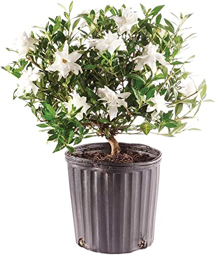 Amazon Com Brussel S Bonsai Live Gardenia Outdoor Bonsai Tree 4 Years Old 6 To 8 Tall With Plastic Grower Pot Medium Garden Outdoor