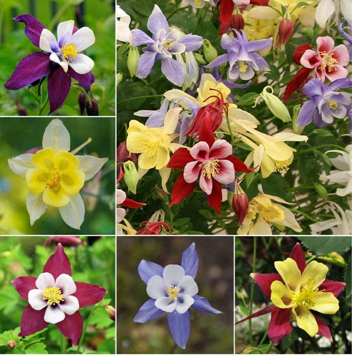 Amazon Com Columbine Aquilegia Mix Granny S Bonnet Seeds