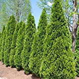 Emerald Green Arborvitae - 2 ft. Tall - 1 Gallon Pot - (Thuja occidentalis 'Emerald')