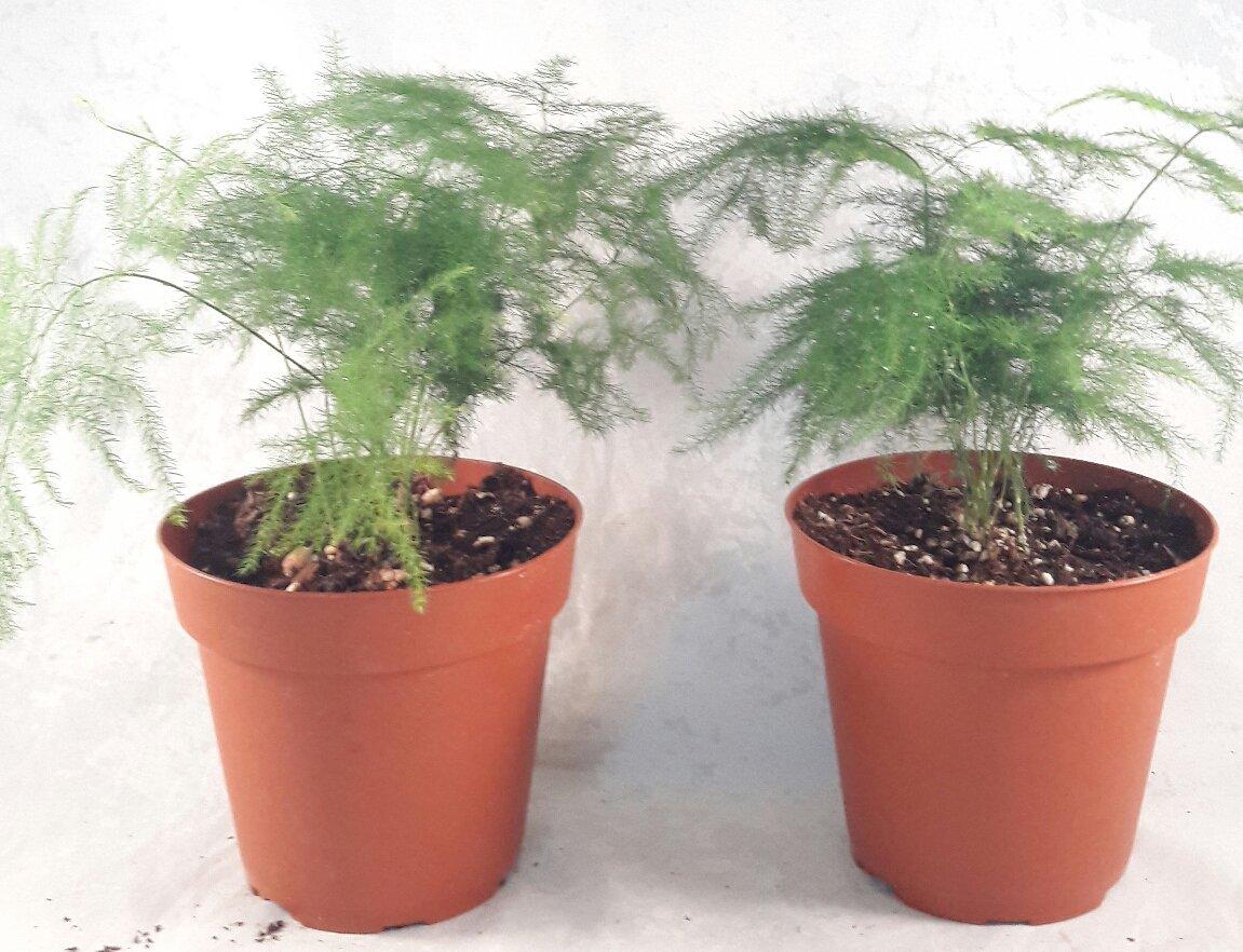 Two Fern Leaf Plumosus Asparagus Fern - 4'' Pot - Easy to Grow - Great Houseplant