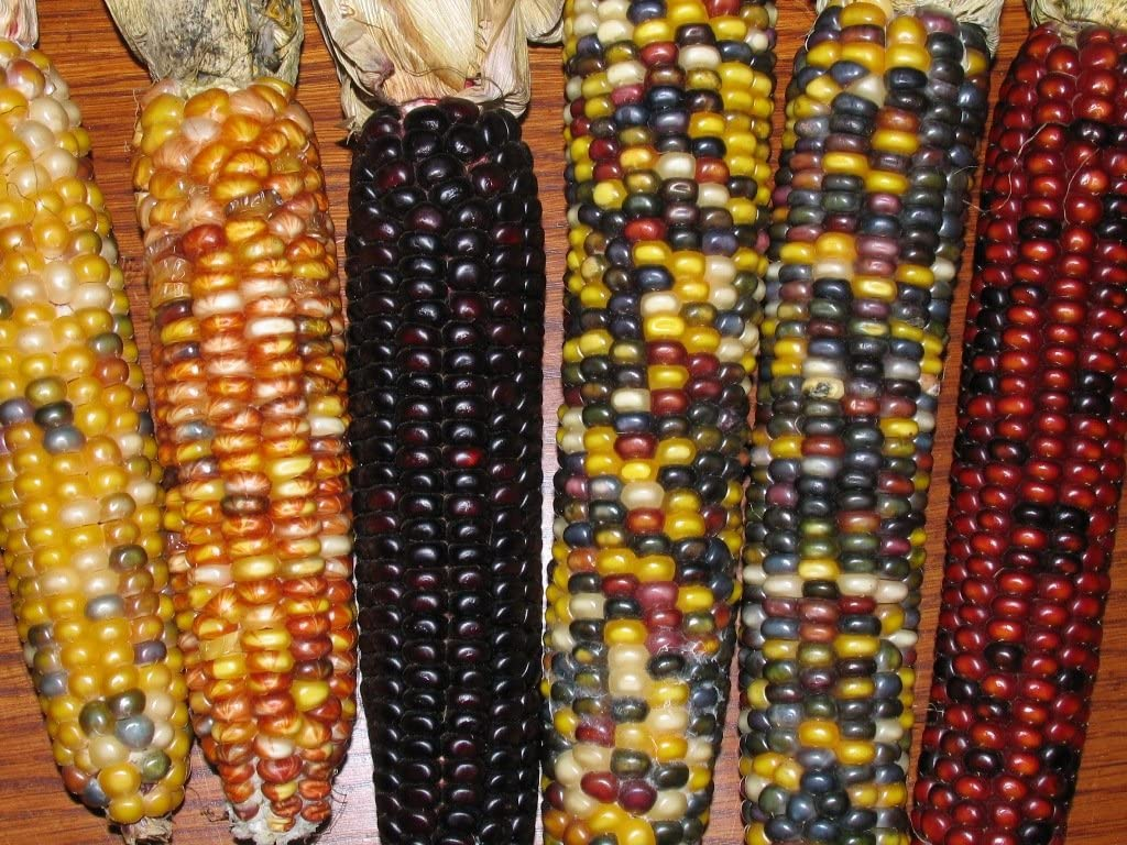 Decorative Indian Corn with Husks - 5 to 6 Ears - Multi Colored