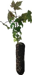 product image for Bigleaf Maple | Medium Tree Seedling | The Jonsteen Company