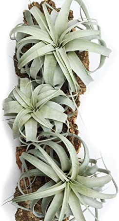 Xerographica Airplant rare house plant unusual
