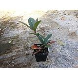 Fotinia Pianta di Fotinia in vaso 7x7 cm Photinia Red Robin - 10 Piante in Vaso cm 7