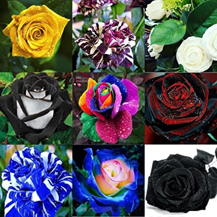 M Tech Gardens 25 Seeds Mixed Rare Exotic Rose Flower SeedsBlack