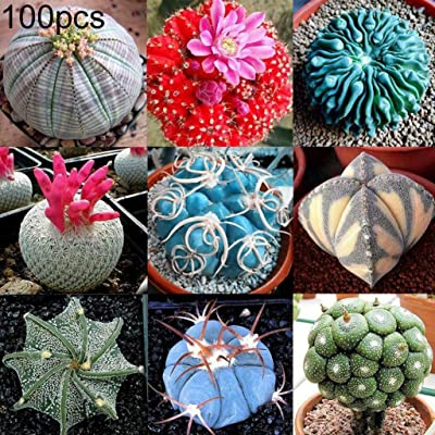 Dserw 100pcs Mixed Color Succulent Cactus Seed Live Stone Plant Family Garden Bonsai Balcony Decorative Plant : Garden & Outdoor