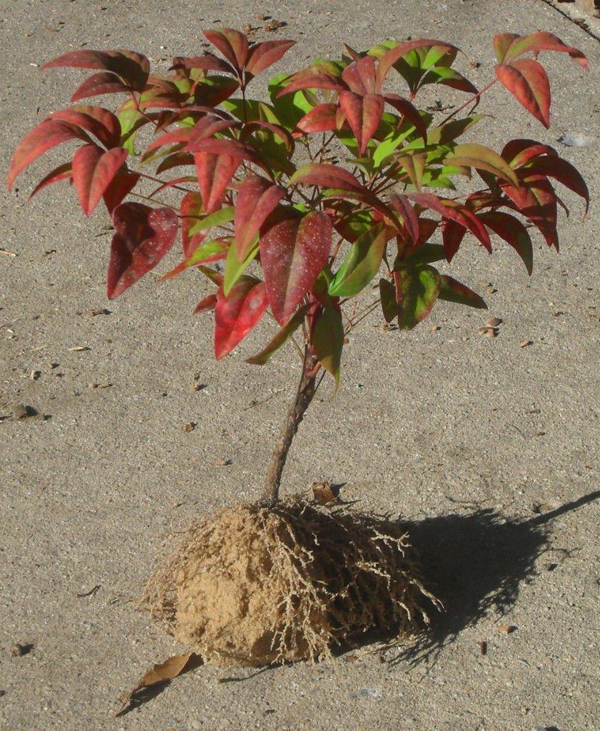 1 Firepower Dwarf Nandina 6+ INCHES ornamental shrub LIVE PLANT 'Heavenly Bamboo'