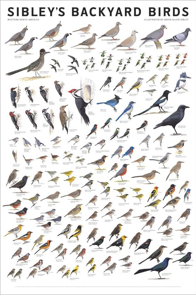 Picture Peddler Sibley's Backyard Birds of Western North America Meadow Lark Mourning Dove Stellers Jay Western Tanager 24x36