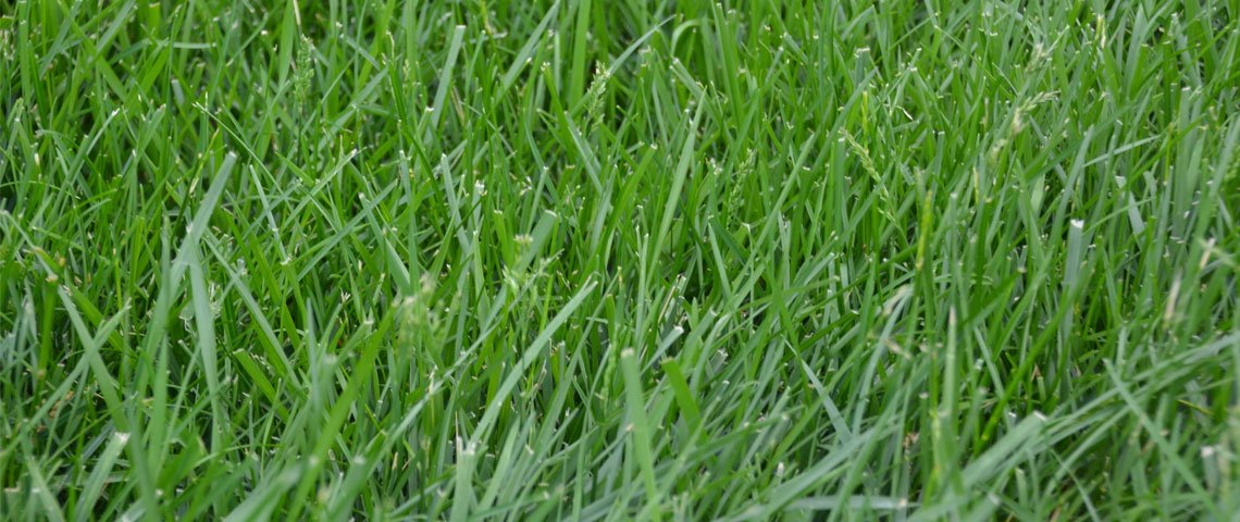 Kentucky K31 Tall Fescue Grass Seed by Eretz - Willamette Valley, Oregon Grown (5lbs) by Eretz (Image #5)