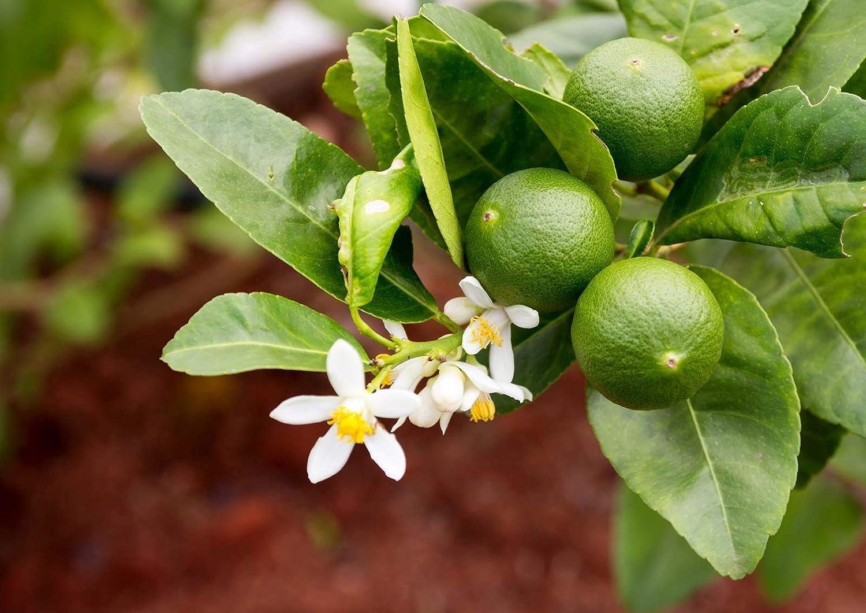 Lemon Tree Organic Fruit Seeds for Home Garden Potted Plant