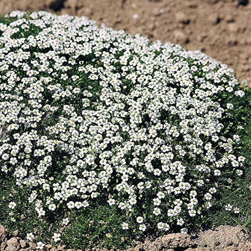 Ground Plants Cover (Outsidepride Irish Moss Ground Cover Plant Seeds - 10000 Seeds)