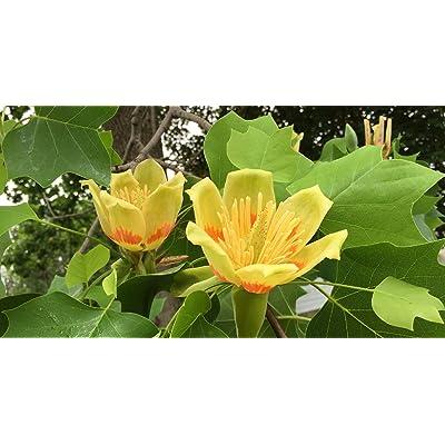 1 Live Plant 5-6 ft Poplar Tulip Tree Outdoor Gardening tksery : Garden & Outdoor