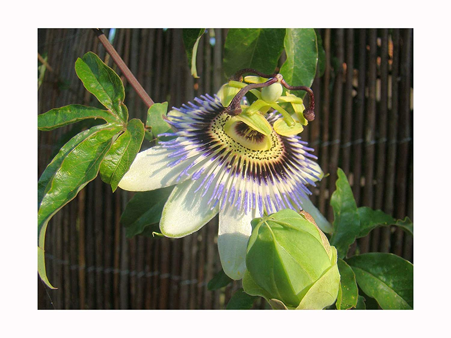 BLUE PASSONFLOWER Passiflora coerulea - 20cm tall plant - the hardiest passion flower for the UK - fast growing climber with large, blue flowers