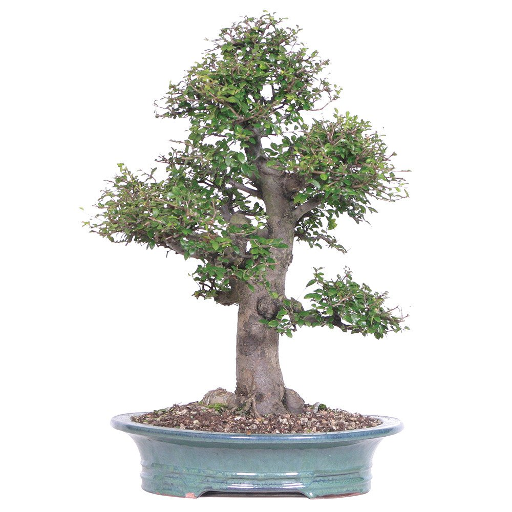 Brussel's Bonsai ST0714CE-F Chinese Elm Specimen Bonsai