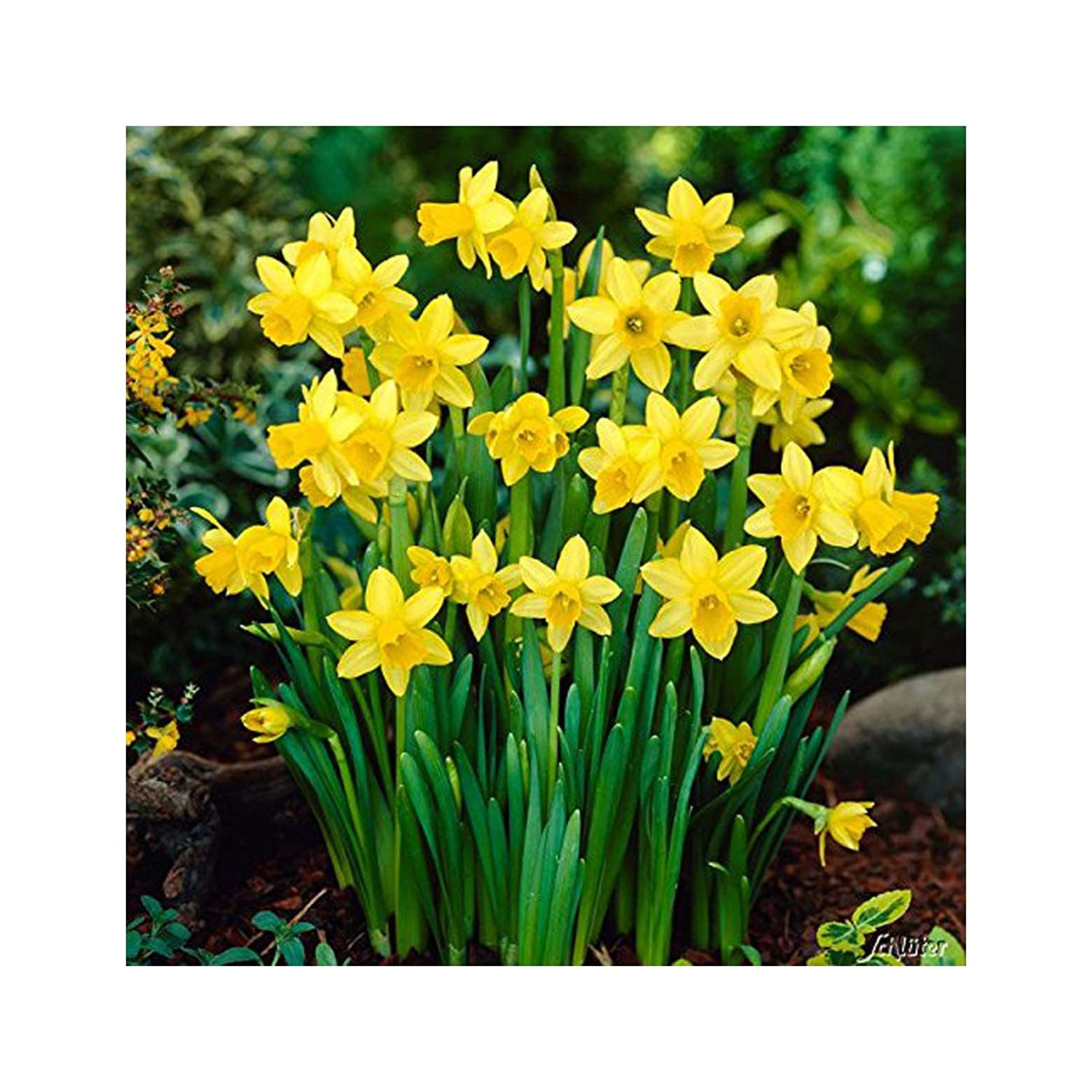 """ Tete a Tete "" Narcissi - Spring Flowering Dwarf Rockery Bulbs - Available in Packs of 50 & 100 - Free UK P & P (100)"