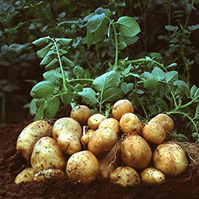 QiBest 20pcs Gold Potatoes Seeds Nutrition Green Vegetables Home Garden Farm Plant Vegetables : Garden & Outdoor