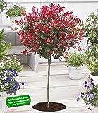 "BALDUR-Garten Immergrünes Photinia-Stämmchen""Little Red Robin"" 1 Pflanze Glanzmispel"