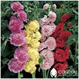 Caribou Seed Company: Perennial HOLLYHOCK CHATER'S Double Triumph Mix, 20 Seeds, Althea rosea, Cut Flower, Butterfly Garden