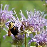 Package of 400 Seeds, Wild Bergamot Bee Balm (Monarda fistulosa) Non-GMO Seeds By Seed Needs