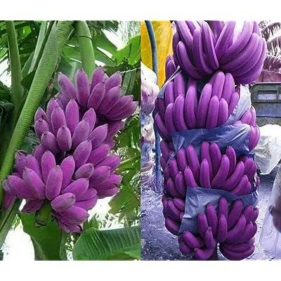 100pcs Banana Seeds Rare Purple Banana Tree Seeds Delicious Fruit Hardy Cold Outdoor Plant Home Garden : Garden & Outdoor