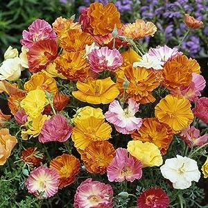 David's Garden Seeds Flower Poppy California Ballerina Mix SL0263 (Multi) 500 Non-GMO, Open Pollinated Seeds