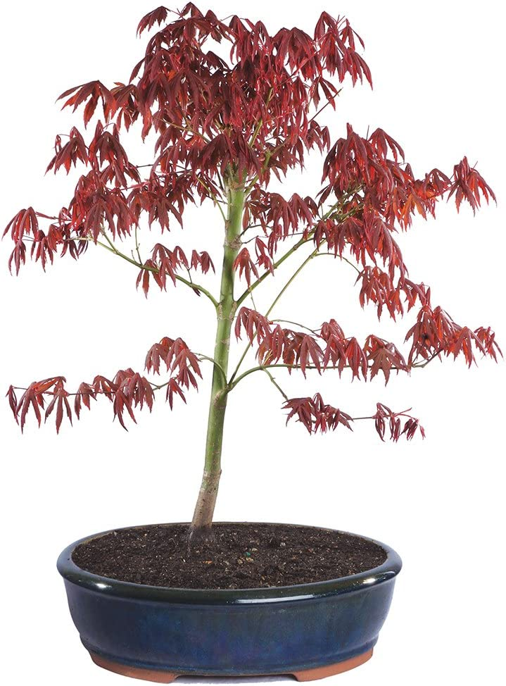 Amazon Com Brussel S Japanese Red Maple Bonsai X Large Outdoor Garden Outdoor