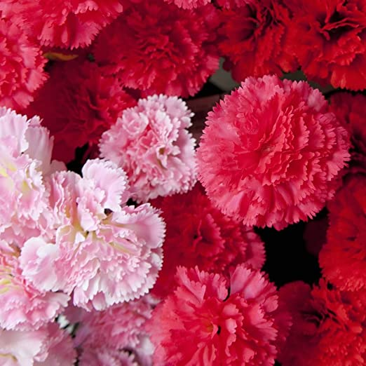 Hardy Border Mix Appx 60 seeds Carnation