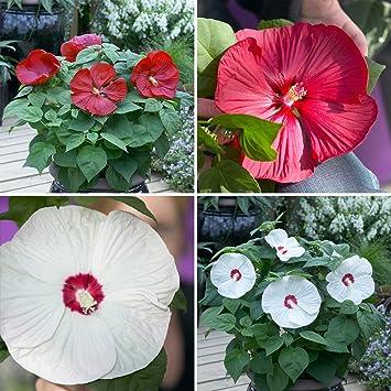 Giant Flowered Hardy Hibiscus X 2 Plants Amazoncouk Garden