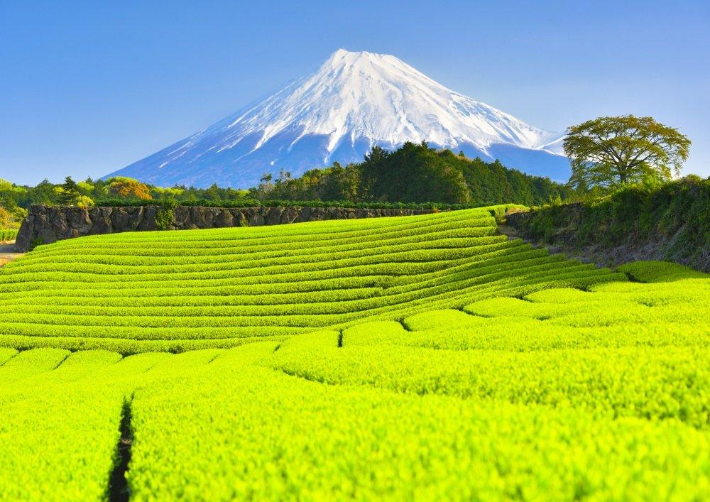 絵画風 壁紙ポスター (はがせるシール式) -地球の撮り方- 新緑の絨毯、今宮の新芽の茶畑と富士山の絶景 静岡県富士市 日本の絶景 キャラクロ C-ZJP-011A1 (A1版 830mm×585mm) 建築用壁紙+耐候性塗料